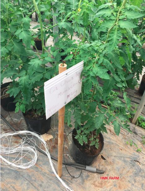 Ống PE 16mm sử dụng tưới cà chua