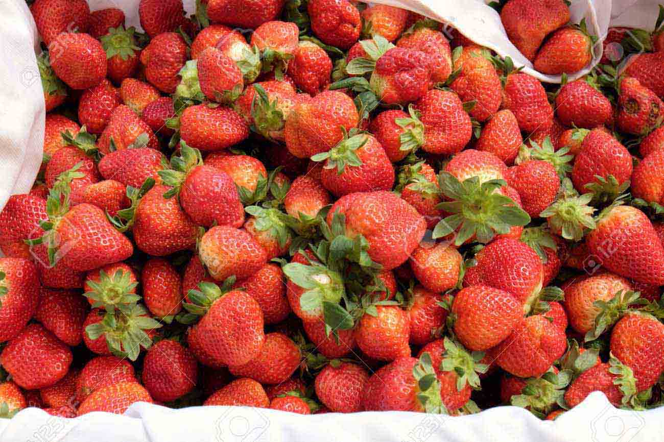Crop at strawberry garden Da Lat, Viet Nam, high tech agriculture to make clean and safe product, fruit from strawberries plant at Dalat, Vietnam, this is food that rich vitamin, good for health
