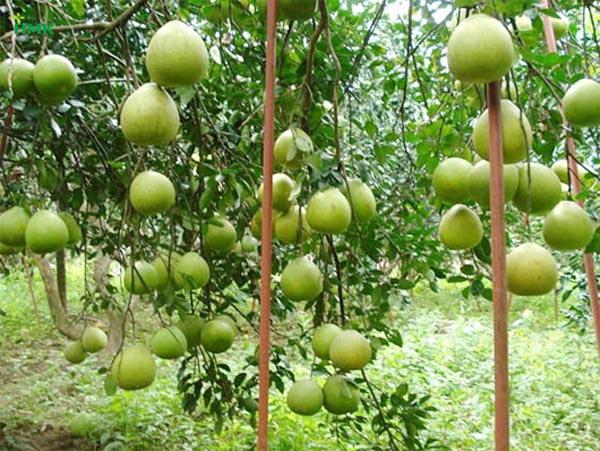 Cây bưởi Việt Nam cho nhiều trái với chất lượng cao hơn nếu áp dụng tốt khoa học kỹ thuật