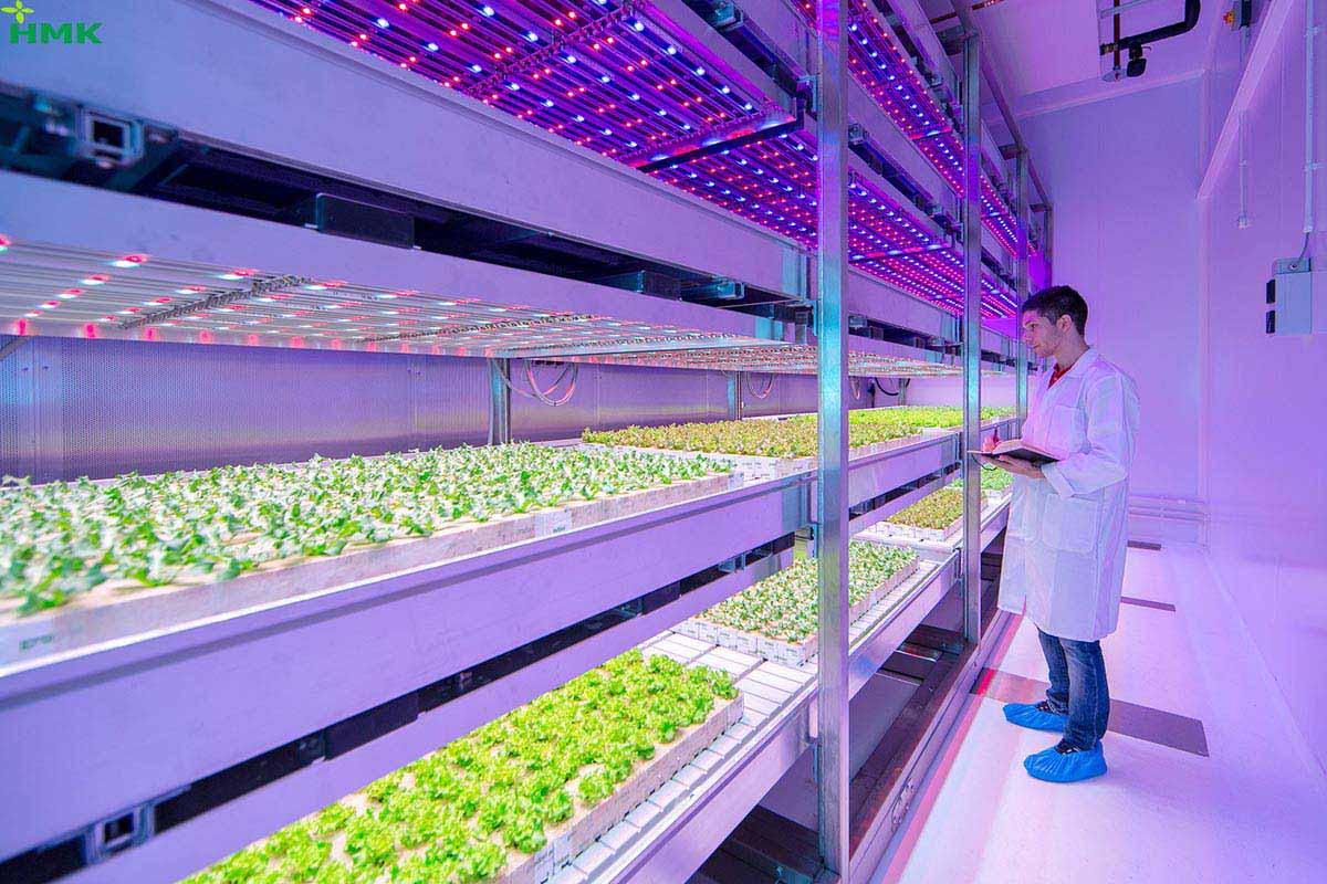 Ứng dụng kỹ thuật chiếu sáng trong trồng rau cho năng suất cao