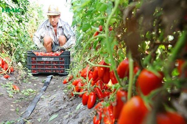 Ưng dụng tưới nhỏ giọt cho cây cà chua