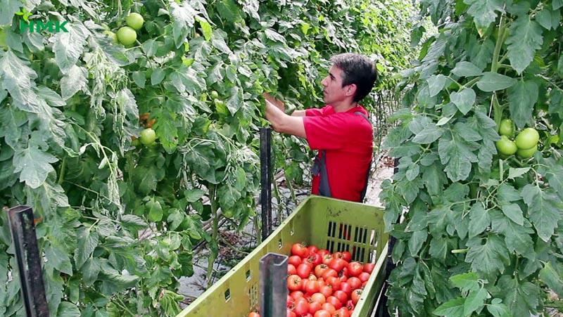 Cây cà chua cho năng suất và chất lượng cao hơn nhiều lần