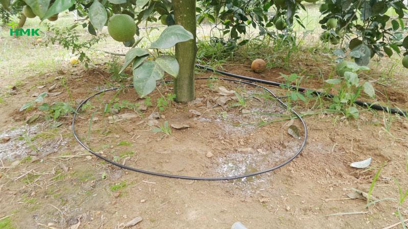 Tưới nhỏ giọt cuốn gốc cây bưởi