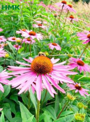 Hệ thống tưới nhỏ giọt cho hoa cúc