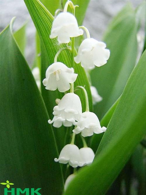 Hệ thống tưới nhỏ giọt cho hoa linh lan