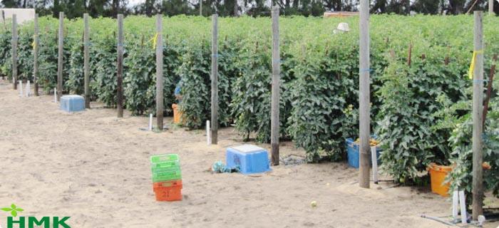Hệ thống tưới nhỏ giọt cây cà chua trên cát