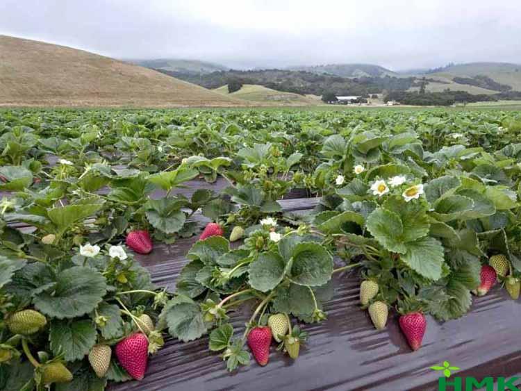 Hệ thống tưới cây nhỏ giọt cho dâu tây tăng năng suất