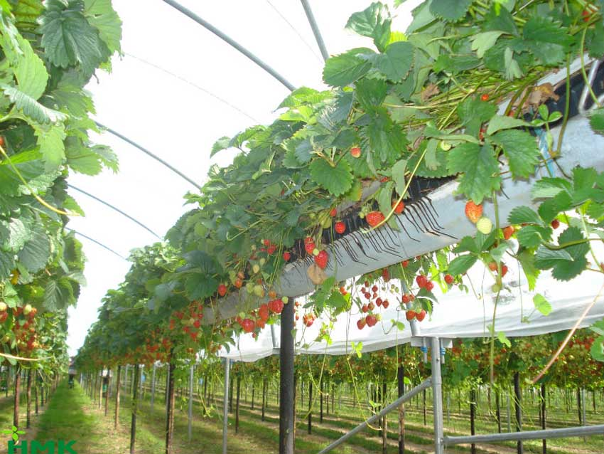 Hệ thống tưới cây nhỏ giọt cho dâu tây chuyên nghiệp