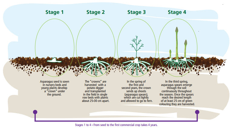 Chu kỳ phát triển của măng tây