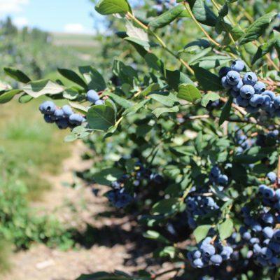Khu thử nghiệm blueberry